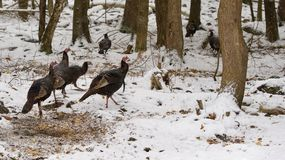 Flock Wild Turkeys in winter forest royalty free stock image