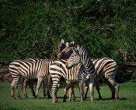 Flock of wild zebra in green grass field Stock Image