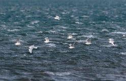 A flock of winter plumage, Mediterranean Gulls, Ichthyaetus melanocephalus, in flight. Royalty Free Stock Photo