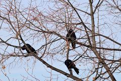 A flock of winter rooks from three birds resting in maple branch. A flock of winter black rooks of three birds sitting and resting in maple branches in January Stock Photos