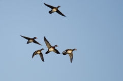 Flock of Wood Ducks Flying in a Blue Sky Royalty Free Stock Photos