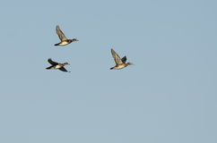 Flock of Wood Ducks Flying in a Blue Sky Royalty Free Stock Images