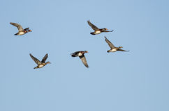 Flock of Wood Ducks Flying in a Blue Sky. Flock of Wood Ducks Flying in a Clear Blue Sky Royalty Free Stock Images