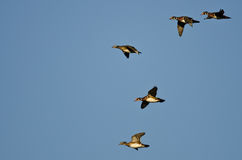 Flock of Wood Ducks Flying in a Blue Sky Stock Photos