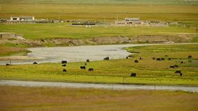 A flock of yak on the Prairie,River flowing through the tibet grassland. stock video