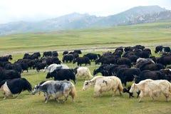 Flock of yak Stock Photos