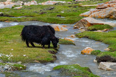Flock of yaks around the valley near Pangong lake in Ladakh, India. Yak is a long-haired bovid found throughout the Himalaya region of southern Central Asia, the Royalty Free Stock Images