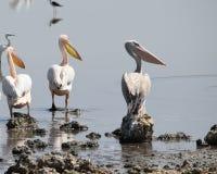 Pelicans at Lake Magadi, Rift Valley, Kenya. A flock of pelicans at Lake Magadi, Rift Valley, Kenya royalty free stock image