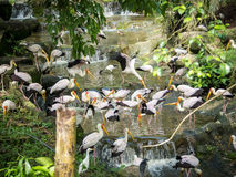 Flock of Yellow Billed Storks Royalty Free Stock Photo