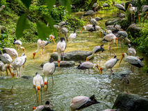 Flock of Yellow Billed Storks Royalty Free Stock Photos