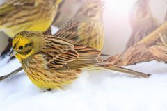 Flock of yellow birds on white snow Royalty Free Stock Photo