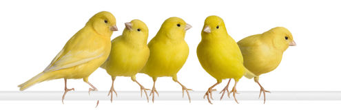 Flock of Yellow canary - Serinus canaria on its pe Stock Image