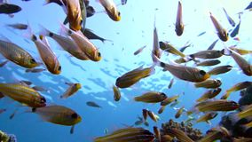 A flock of Yellowtail sweeper fish Pempheris schenckii in the blue water. Red sea. Egypt stock footage