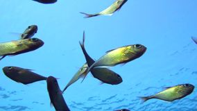 A flock of Yellowtail sweeper fish Pempheris schenckii in the blue water. Red sea. Stock Photography