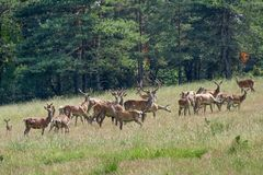 Flock of young deers Royalty Free Stock Images