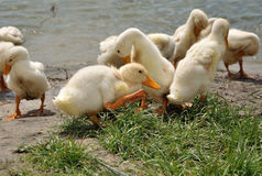 Flock of young ducks near the water Stock Image