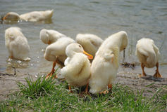 Flock of young ducks near the water Royalty Free Stock Images
