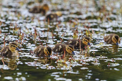 Flock of young ducks in the water. Little ducklings swimming in Forest Lake, Mallard, the new generation Stock Photos