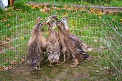 Flock of young Indian runner ducks in outdoor duck pen. Flock of young Indian runner ducks in duck pen Royalty Free Stock Image