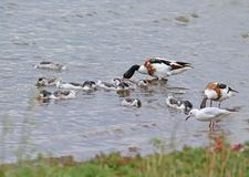 A flock of young shelducks are fed in water royalty free stock photos