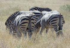 Flock of zebras Royalty Free Stock Photography