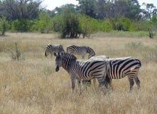 Flock of zebras Stock Photography
