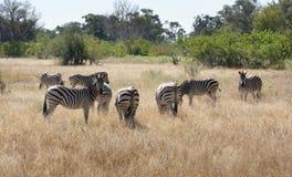 Flock of zebras Royalty Free Stock Photo