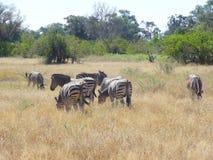 Flock of zebras Stock Photos