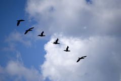 Flock2. Flock in a blue sky with clouds Stock Image