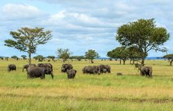 Flockar av afrikanska elefanter i den Serengeti nationalparken Arkivbild