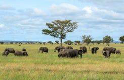 Flockar av afrikanska elefanter i den Serengeti nationalparken Fotografering för Bildbyråer