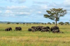 Flockar av afrikanska elefanter i den Serengeti nationalparken Royaltyfri Foto