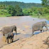 Flockar av elefanter Arkivfoton