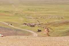 Flockar av får migrate i Mongoliet arkivbilder