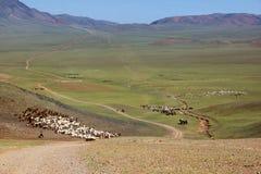 Flockar av får migrate i Mongoliet fotografering för bildbyråer