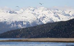 Flockar av fiskmåsar i springq Arkivfoton