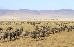 Flockar av gnu går i Ngorongoro Arkivbild