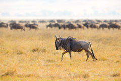 Flockar av gnu i Ngorongoroen Royaltyfri Fotografi