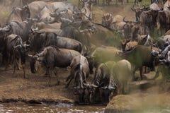 Flockar av herbivor på bankerna av Mara River arkivbild