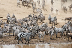 Flockar av sebran i masaien Mara, Kenya arkivfoto