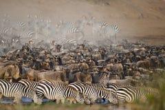 Flockar av sebran och gnu på Mara River, Kenya fotografering för bildbyråer