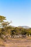Flockar av sebror serengeti Arkivfoton