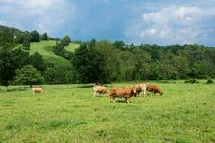Flockar av tjurar i ett berg betar i sydliga Frankrike royaltyfri bild