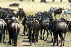 Flockar av växtätande i savannet mara masai Royaltyfria Foton