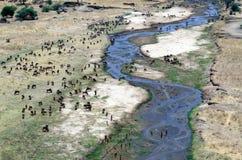 Flockar som betar på floden, Tanzania Tom Wurl Arkivbild