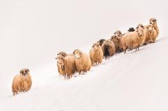 flockas får Royaltyfri Fotografi
