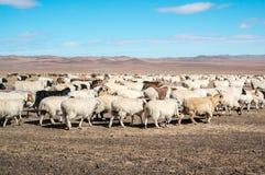 flockas får Arkivbild