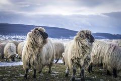 flockas får Royaltyfria Bilder