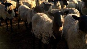 Flockas får som står, och se på beta in camera på den lantliga lantgården boskap stock video