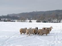 flockas fårsnow Arkivfoton